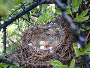 A Southern Fiscal nest with the first hatchling
