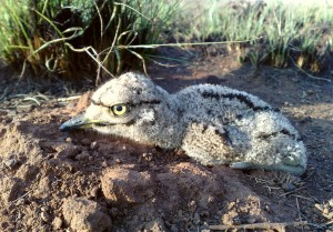 A Spotted Thick-knee chick