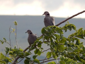 African Mourning Dove (6)