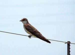 Barn Swallow female (47)