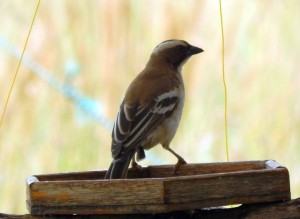 White-browed Sparrow-Weaver (56)