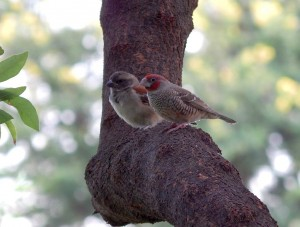 A Cape Sparrow (5) and a Ref-headed Finch (49)