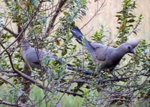Grey Go-away-birds (36)