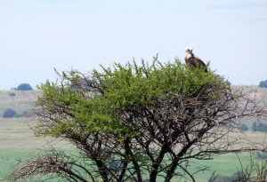 Young Black-chested Snake-eagle (10)