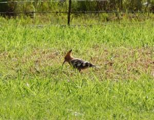 African Hoopoe (1)