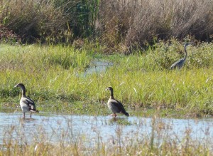 Two Egyptian Geese (61) and a Black-headed Heron ()