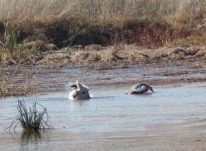 Egyptian Geese enjoying a bath (61)
