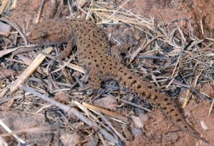 'What was that you said about my thick toes?' Transvaal Thick-toed Gecko.