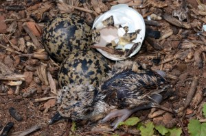 """Minutes old - a Crowned Lapwing hatchling, the first of three to hatch. Note the """"egg tooth"""" (the white dot) of the next chick to hatch barely protruding from the egg right above the newlyborn"""