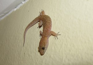 'That mozzie is MINE – I saw it first!' Tropical House Gecko – notice the vertical pupils of the eyes.
