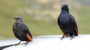 A pair of Red-winged Starlings on the open door of the photographer's car