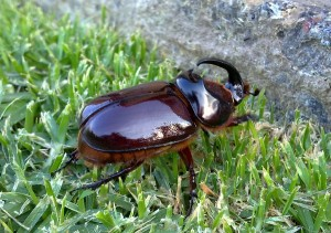 "Rhino Beetle: ""Note the reflection of the garden in my shiny coat"""