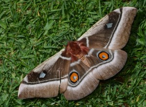 The Emperor moth, the adult phase