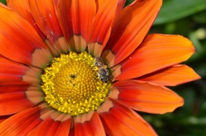Pollen-laden bee on gazania
