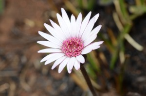 Swartteebossie (Gerbera piloselloides)