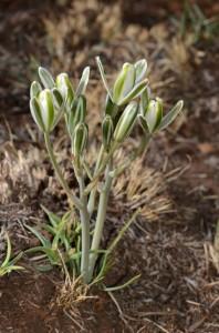 Slymuintjie (Albuca setosa) Slymuintjie/Snotblom