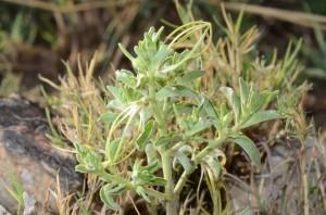 Birdcage Flower (Brachystelma circinatum)