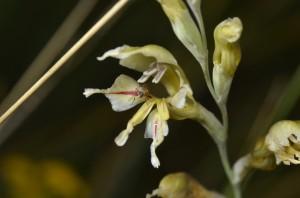 Patrysuintjie (Gladeolus permeabilis)