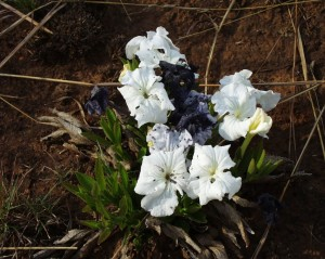 """The pure white flowers of the more common """"Inkblom"""" or Ink Plant (Cycnium adonense) turn black when it dies, as can be seen in this photograph"""