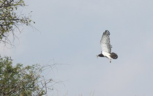 Female Black-Chested Snake Eagle carrying nesting material