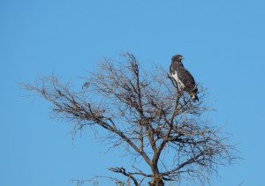 Black-Chested Snake Eagle (Circaetus pectoralis)