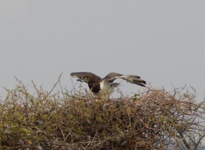 Black-Chested Snake Eagle female at the 2014 nest