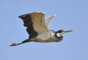 Black-headed Heron in flight (21)