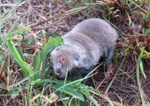 Common Mole Rat