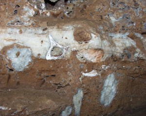 A fossilised vertebra, with some cave formations were captured in this mass of breccia in a cave adjacent to our Estate