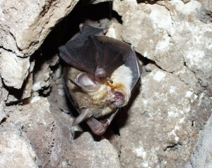 Geoffroy's Horseshoe Bat
