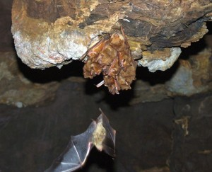 Yellow House Bat