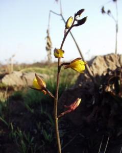 Eulophia inaequalis