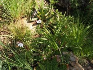 Eulophia ovalis