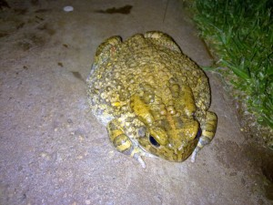 'What the heck … keep that flashlight out of my eyes!' Guttural Toad