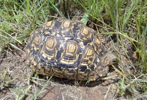 'Hmmm… nothing much to eat in this spot…' Leopard Tortoise