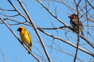 A Southern Masked-weaver and a Black-collared Barbet