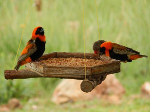 Two Southern Red Bishops and a REd-Billed Quelea