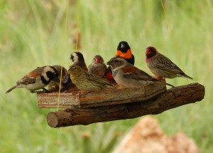 Breakfast at the Sterkfontein Restaurant, a Southern Red Bishop, Caper Sparrows, a Red-headed Finch and a Red-billed Quelea