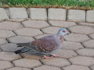 Speckled Pigeon (7)