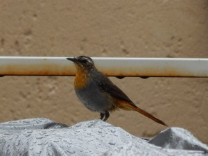 Cape Robin-Chat (43)