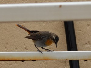 Cape Robin-chat (34)