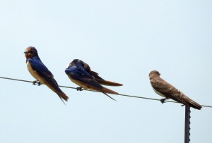 Barn Swallows - two males and a female (47)