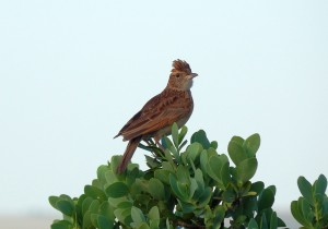 Rufous-naped Lark (54)