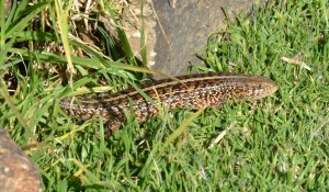 Cape Threelined Skink basking in the sun
