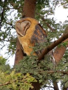 African Grass-owl