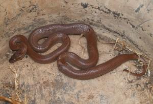 Brown House Snake