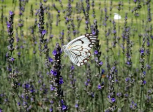 Butterfly on lavender bush