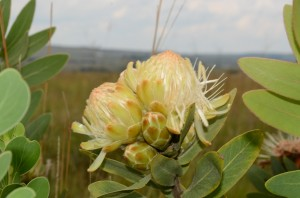 Rusty Velvet Protea (Protea welwitschii) Fluweelprotea – Although proteas do not commonly grow on alkaline soils (such as out dolomitic soil) there are two beautiful specimens growing on the empty Plot 130 and also a possible specimen on plot 125 (it has not yet flowered)