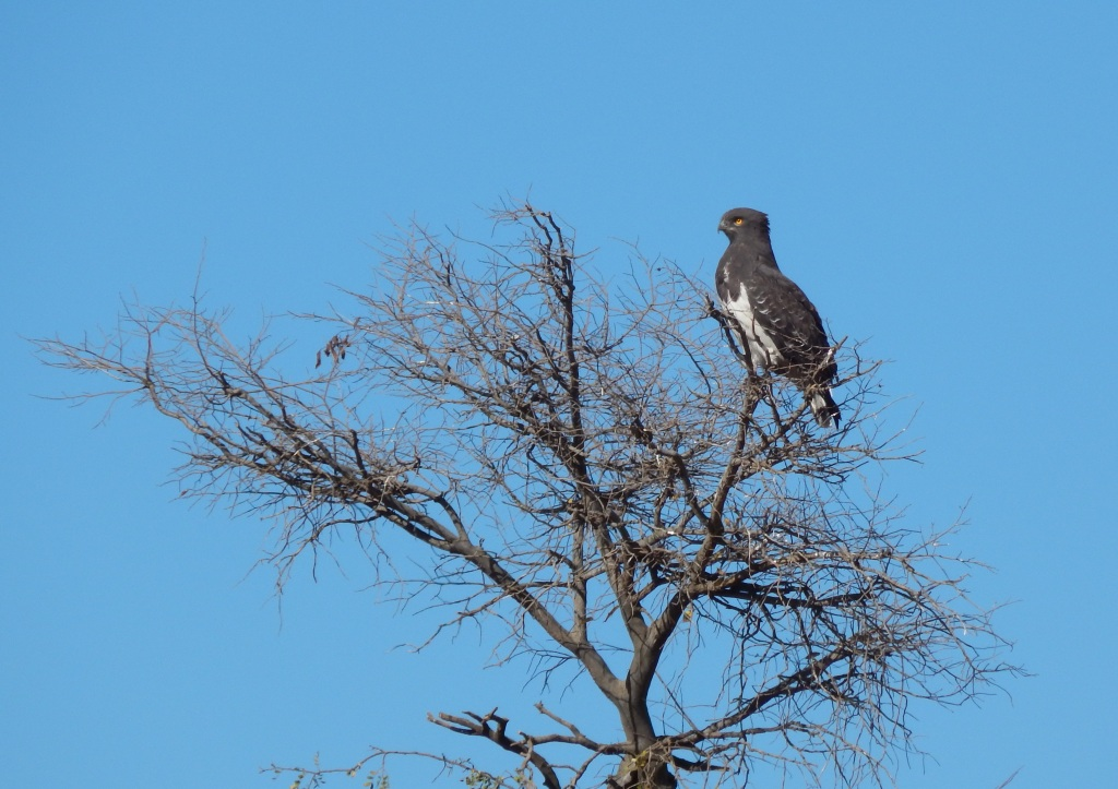 I am Kgosi, the proud male Black-chested Snake eagle of Sterkfontein Country Estates (Kgosi - Tshwana meaning Chief)