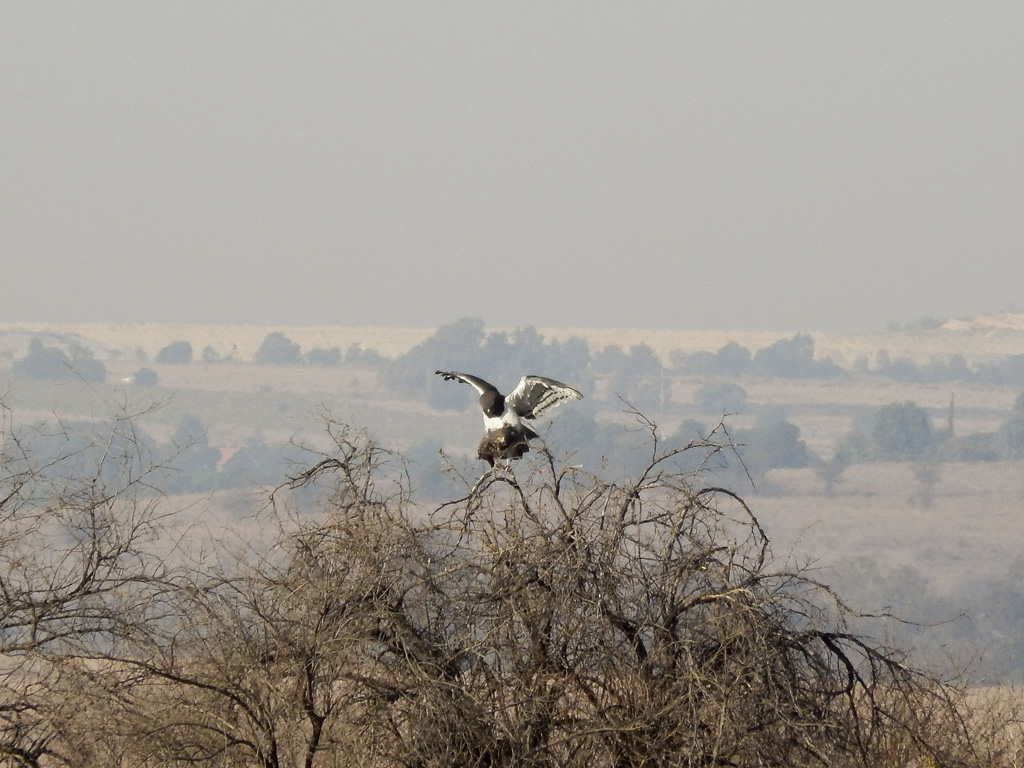 Black-Chested Snake Eagles mating